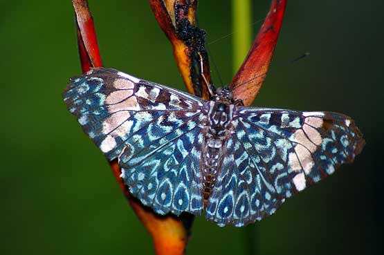 mariposas-panama-03