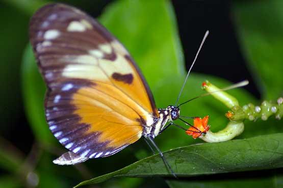 mariposas-panama-04