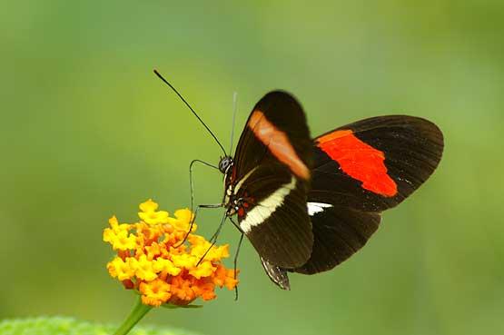 mariposas-panama-06