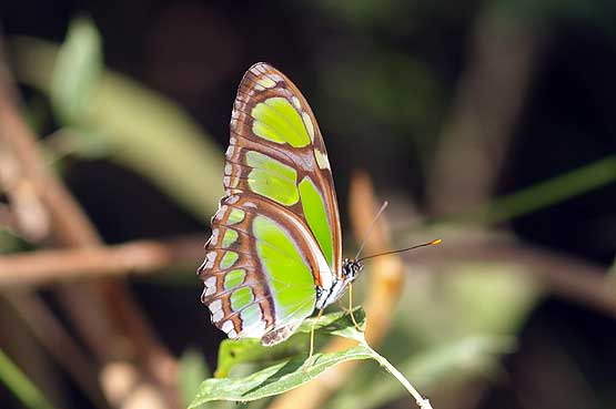 mariposas-panama-08