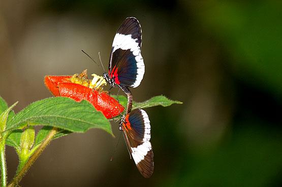mariposas-panama-09
