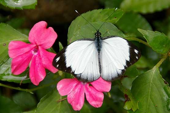 mariposas-panama-11