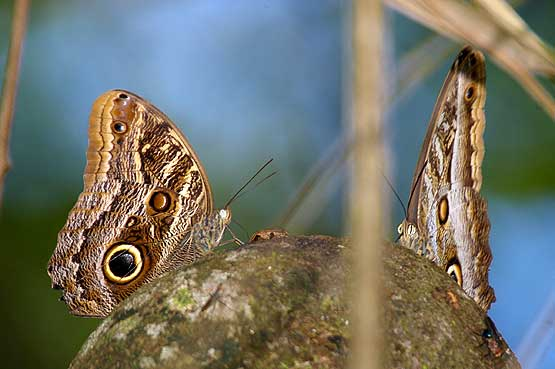 mariposas-panama-13