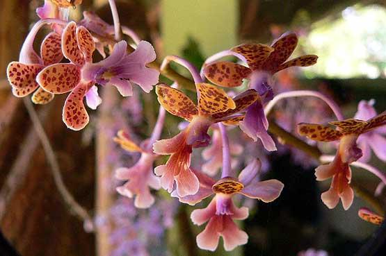 orchideas-panama-01
