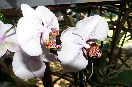 orchideas-panama-03
