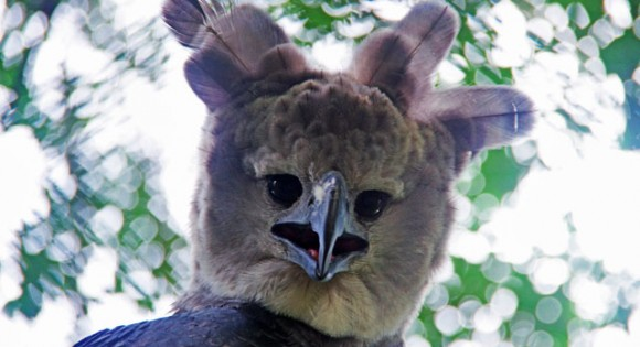 Harpy Eagle named Panama